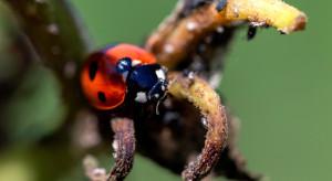 Kontrola biologiczna pomaga zapanować nad szkodnikami w wielu uprawach