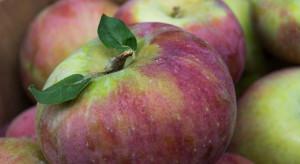 Bronisze: Przybywa jabłek odmian jesiennych, w sprzedaży dostępny Cortland