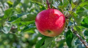 Ochrona jabłek przed chorobami przechowalniczymi