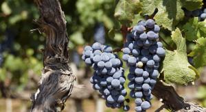 Wkrótce rozpocznie się ekologiczne winobranie w Dworze Sanna na Roztoczu