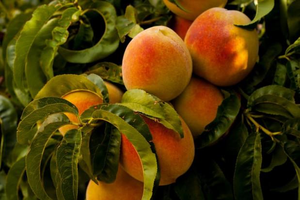 Zbiory brzoskwiń i nektarynek w UE spadły o 15% w 2020 r.