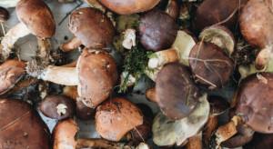 Warmińsko-Mazurskie: W lasach wreszcie pojawiły się grzyby