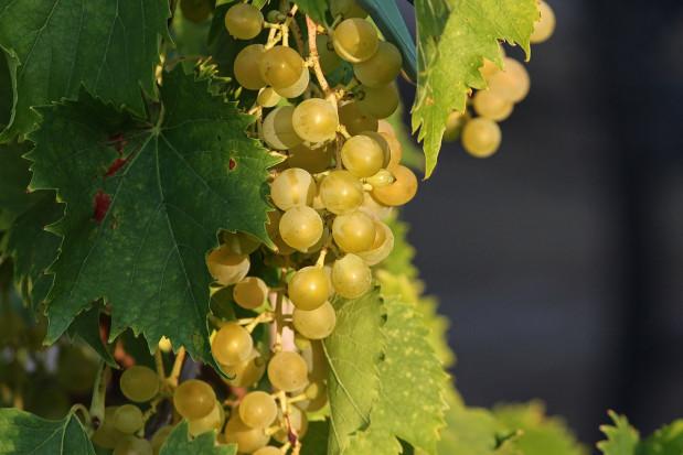 Niemcy: Zbiory winogron będą wyższe niż rok temu