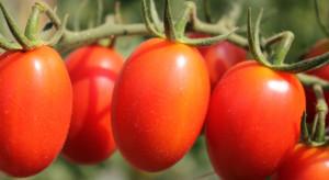 Bayer rozpoczyna prace nad odmianami pomidora z odpornością na ToBRFV