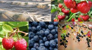 Ankieta: Truskawki uprawiane najchętniej spośród jagodowych; sezon pod znakiem niekorzystnej pogody