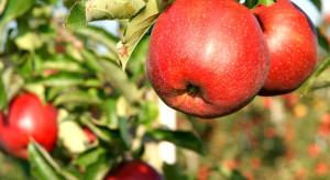 Holandia: Jabłek jest mniej a popyt nadal wysoki
