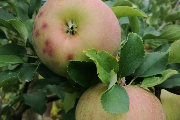 Zbiory jabłek 2020: Mniej oparzeń słonecznych; pojawia się GPP i szklistość miąższu
