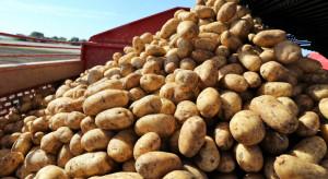 GUS: Ceny ziemniaków w skupie 40 proc niższe niż w ubiegłym roku