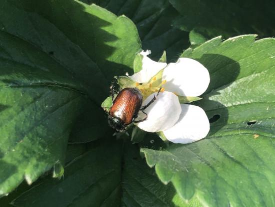 Czas na zwalczanie szkodników glebowych na plantacjach truskawki (zdjęcia)
