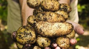 Europejski rynek ziemniaka  – nie ma równowagi między podażą a popytem