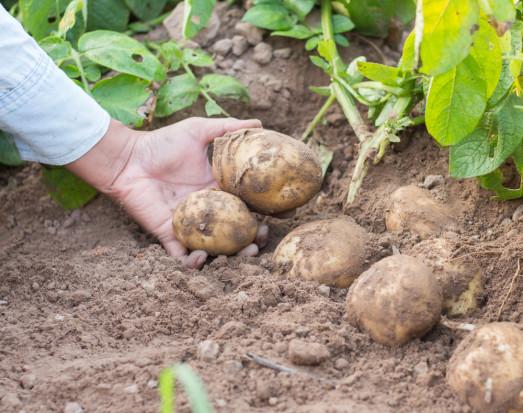 KRIR: Co zamiast dikwatu w uprawie ziemniaka?