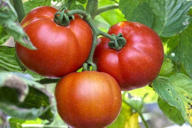 Płatność do pomidorów przyznawana tylko do upraw założonych z rozsady