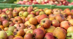 Analiza: Niskie ceny jabłek przemysłowych. Wahają się między 45-46 gr/kg