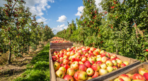 GUS produkcję owoców z drzew oszacował na ponad 3,7 mln ton