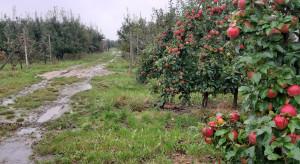 Deszcz przeszkadza sadownikom w zbiorach jabłek (zdjęcia)
