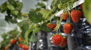 Bydgoscy naukowcy pracują nad całoroczną odmianą truskawek