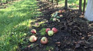 Skutki nocnej nawałnicy: Uszkodzone sady i strącone jabłka (zdjęcia)