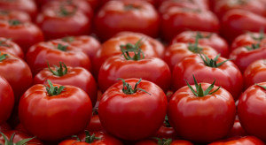 Eksport pomidorów z Hiszpanii spada siódmy sezon z rzędu