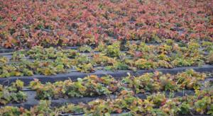 Jak przygotować plantacje truskawek do okresu spoczynku zimowego? (galeria zdjęć)