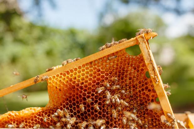 Podkarpackie: pogoda przyczyną słabych zbiorów miodu