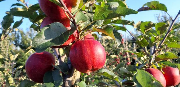 Jakimi odmianami jabłoni warto się zainteresować w tym sezonie?