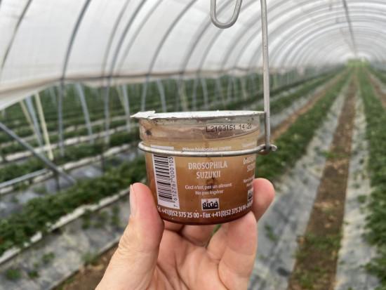 Truskawki po szwajcarsku – systemy uprawy, dobór odmian, główne problemy w ochronie (zdjęcia)