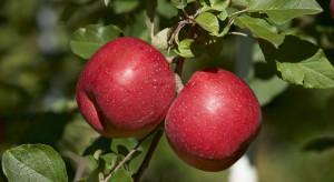 Fuji Royal – nowa odmiana jabłek dostępna dla producentów z RPA
