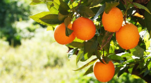 Maroko: Produkcja cytrusów wzrośnie do ponad 600 tys. ton