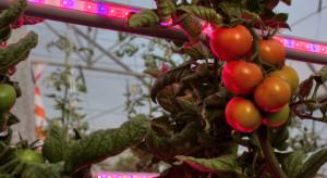Niemcy: Zebrano pierwsze pomidory z największej szklarni z oświetleniem LED