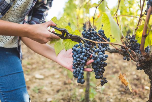 Świętokrzyskie: Deszcze latem i brak słońca wydłużyły zbiory winogron