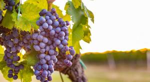 Zmiany klimatu mogą pozytywnie wpłynąć na polski sektor winiarski