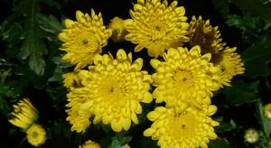 Puda o wykupie kwiatów: z najnowszych danych wynika kwota 32 mln zł