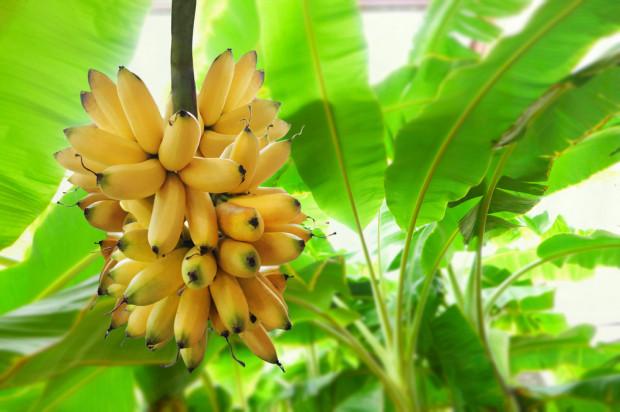 Do 2029 r światowa produkcja bananów może wzrosnąć o 10 mln ton