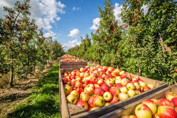Sandomierz: Sadownicy zakończyli zbiór jabłek