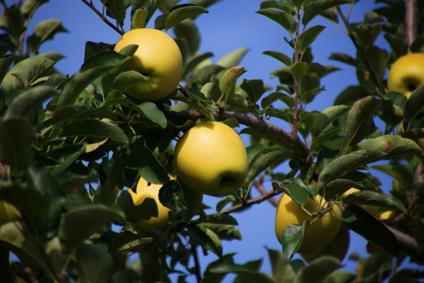 Japonia: Skradziono z sadu jabłka odmiany Złote Shinano warte 45 tys. zł