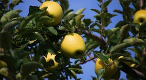 Japonia: Z sadu skradziono jabłka Złote Shinano. Straty wynoszą 45 tys. zł