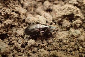 Organizmy pożyteczne w walce ze szkodnikami upraw (zdjęcia)