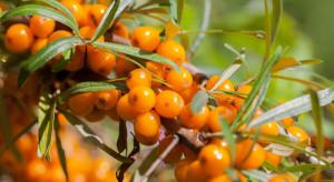 Plantator: duże zainteresowanie owocami rokitnika, szczególnie w okresie pandemii