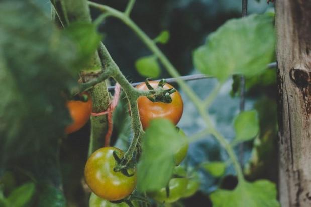 PIORiN: Nowy gatunek mątwika na pomidorze