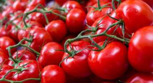 Ceny holenderskich pomidorów na najniższym poziomie od lat