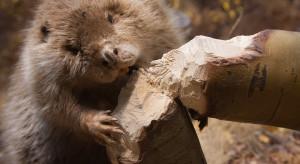 Podkarpackie: ponad 440 tys. zł za szkody zwierząt chronionych