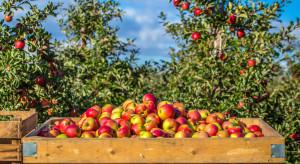 Raport UE: Niskie zbiory powodem stabilnych cen jabłek