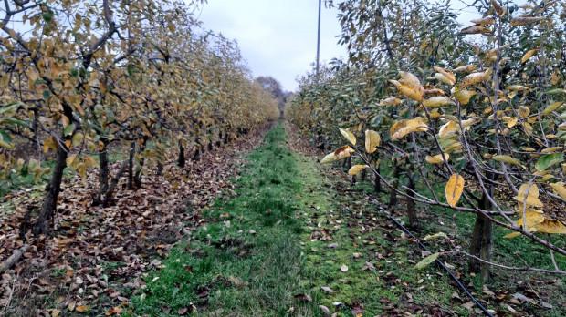 Nawożenie sadów fosforem i potasem jesienią