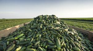 Sektor ogrodniczy w Almerii i Granadzie wycofuje z rynku 30% ogórków
