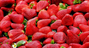 Huelva: Pierwsze wczesne truskawki już na rynku