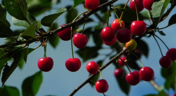Wiśnie – jak w tym roku wygląda popyt na drzewka?