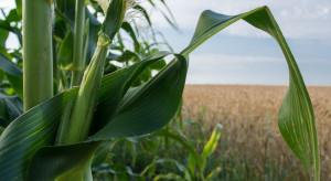 Innowacyjne podejście do ochrony kukurydzy nagrodzone przez MRiRW