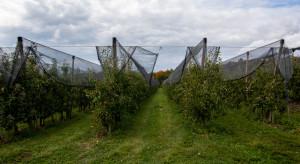 Holandia: zmniejsza się obszar upraw jabłoni
