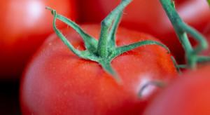 Syngenta wprowadzi nową odmianę pomidora odporną na ToBRFV