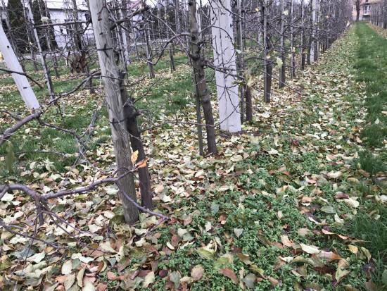 Herbicydy w sadzie - kiedy najpóźniej można wykonać zabieg?